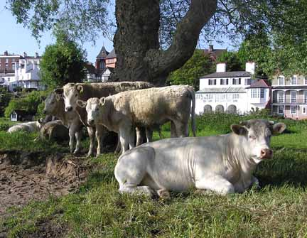 cows on the meadows