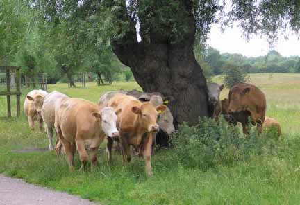 cows on the meadows 2